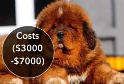 World's Most Expensive Dog Breeds